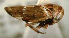 Idioscopus clypealis, I.nitidulus